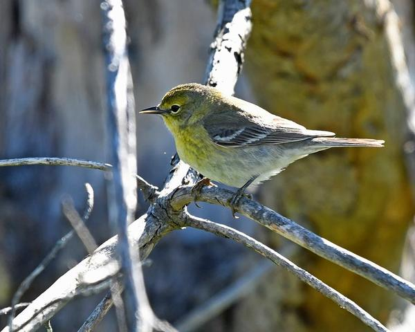Pine warbler in April (photo by Anthony Bruno)