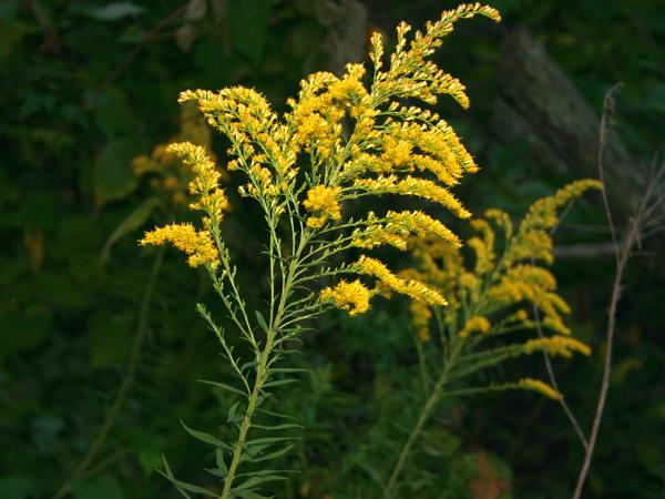 Tall goldenrod with a tassel on top (photo by Kate St. John)