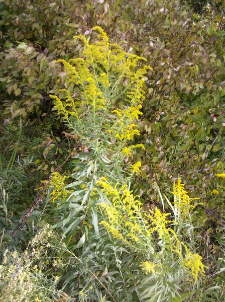 A tall and bushy goldenrod, Schenley Park (photo by Kate St. John)