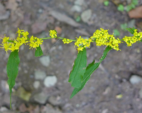 Perhaps this is blue-stemmed or wreath goldenrod (photo by Kate St.John)