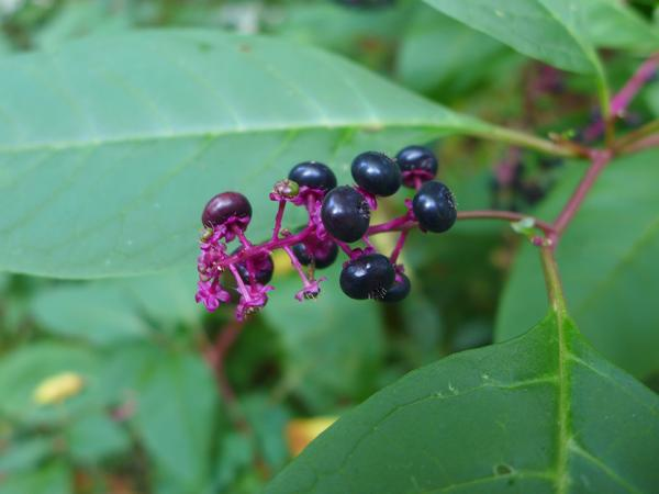 Ripe Pokeberries (photo by Kate St.John)