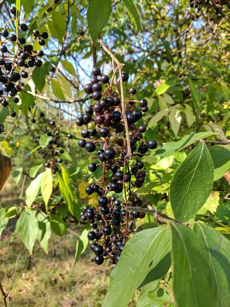 Wild grapes (photo by Kate St. John)