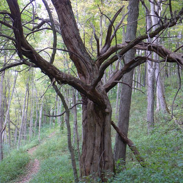 "An old dead ""Wolf Tree"" at Cedar Creek Park (photo by Kate St.John)"