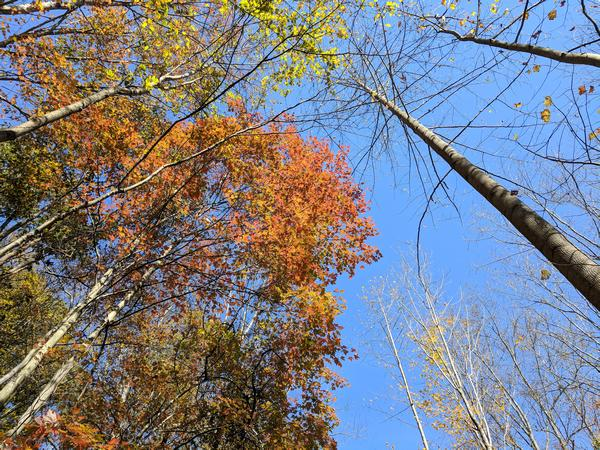 A clear blue sky with one colorful tree, Youghiogeny Bike Trail, 22 October 2017 (photo by Kate St. John)
