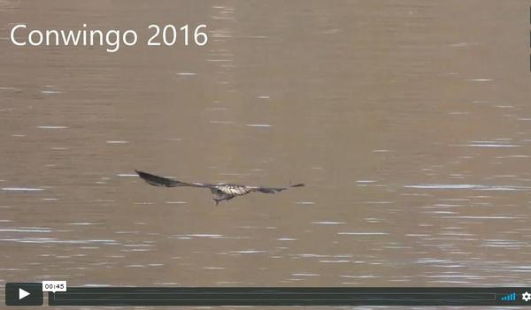 Screenshot of video, bald eagles at Conowingo Dam, fall 2016 (from video by Gerry Devinney)