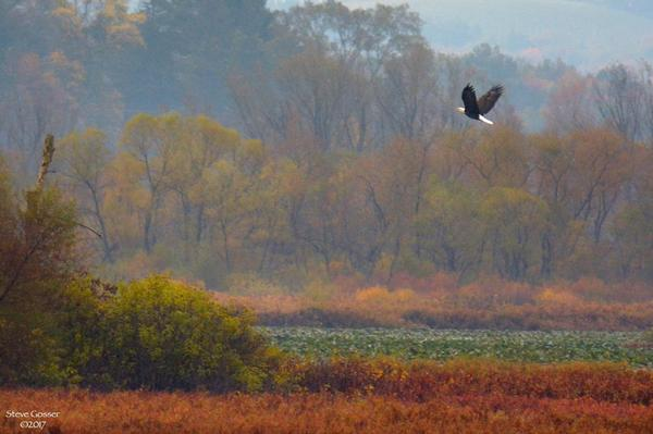 Bald eagle at Glade Dam Lake, October 2017 (photo by Steve Gosser)