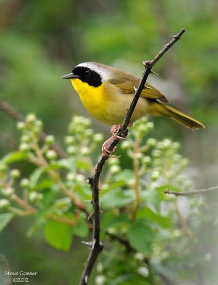 Common yellowthroat (photo by Steve Gosser)