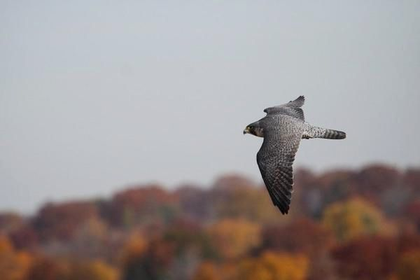 Peregrine falcon, Hillary, in autumn in Ohio (photo by Chad+Chris Saladin)