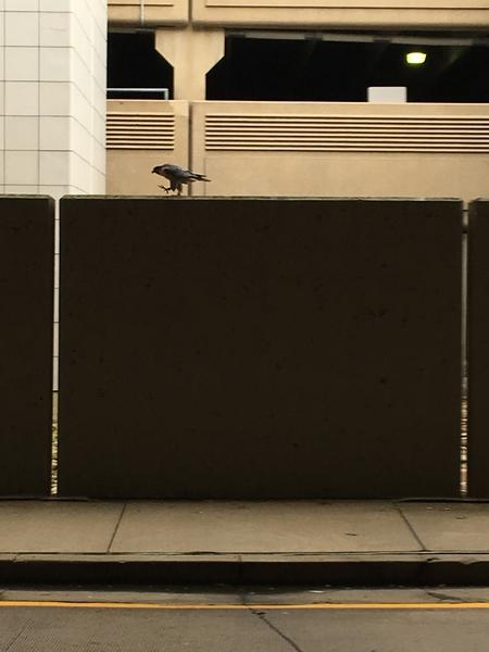 Peregrine walking the wall at Pittsburgh airport Arrivals, 9 Oct 2017 (photo by Becky Shott)