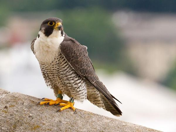 Adult peregrine, Univ of Pittsburgh, 2017 (photo by Peter Bell)