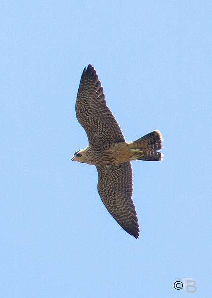 Juvenile peregrine in flight, Univ of Pittsburgh, 2012 (photo by Peter Bell)