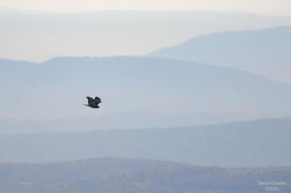 Red-tailed hawk flies by the Allegheny FrontHawk Watch, October 2012 (photo by Steve Gosser)