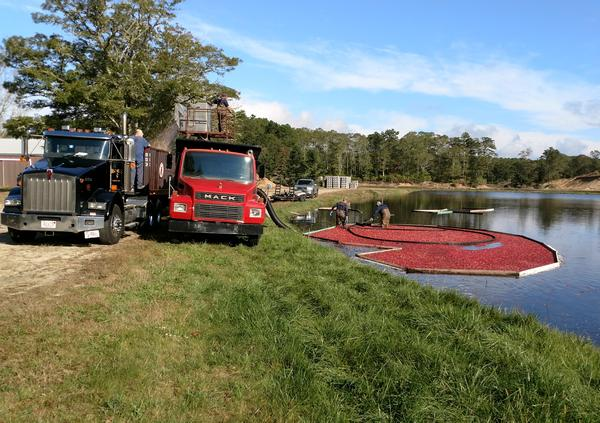 Cranberry harvest at Cape Cod: the berries are lifted into the truck on the left (photo by Rick St. John)
