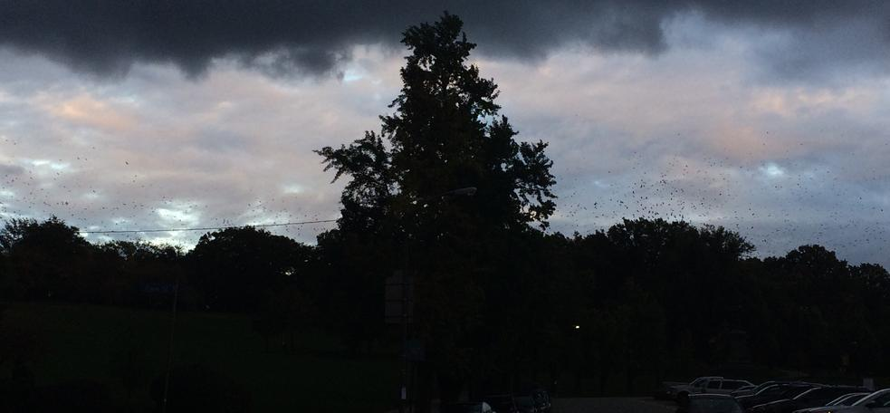 Flock of crows flying toward CMU at dusk, 23 Oct 2017, 6:07pm (photo by Michelle Kienholz)