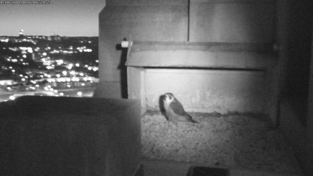 Peregrine at the Gulf Tower nest box, 2 Oct 2017, 6:20am (snapshot from the National Aviary falconcam)