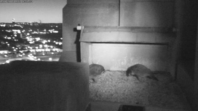 Peregrines at the Gulf Tower nest box, 2 Oct 2017, 6:21am (snapshot from the National Aviary falconcam)