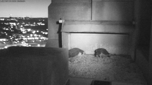 Peregrines at the Gulf Tower nest box, 2 Oct 2017, 6:22am (snapshot from the National Aviary falconcam)