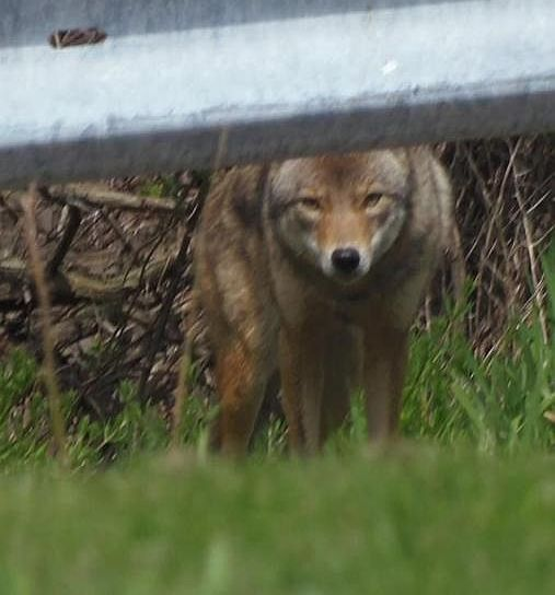 Coyote in Greenfield, October 2017 (photo by Crystal Barry)