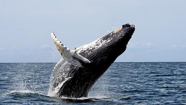 Humpback whale breaching (photo from Wikimedia Commons)