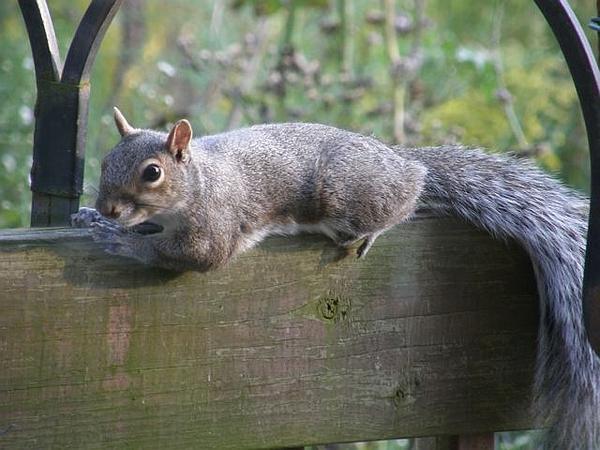 Eastern gray squirrel (photo by Marcy Cunkelman)