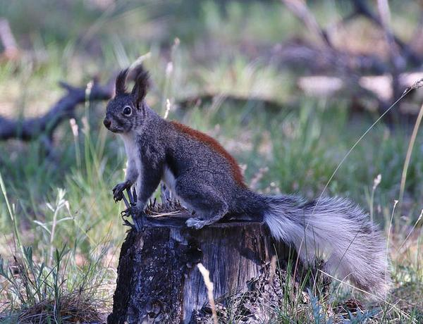 Abert's squirrel (photo by Tom Benson, Creative Commons license on Flickr)