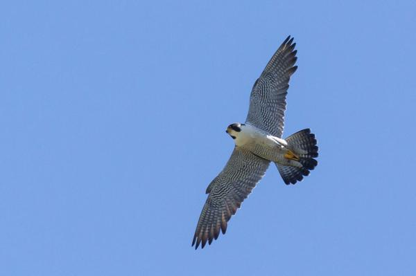 Adult peregrine falcon in flight, Univ.of Pittsburgh, 2016 (photo by Peter Bell)