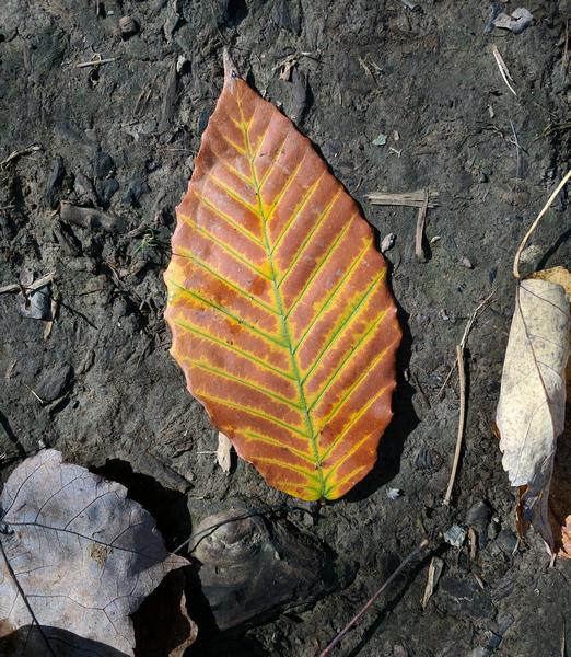 American beech leaf, 17 October 2017 (photo by Kate St. John)