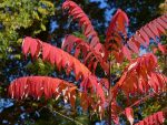 Staghorn sumac in early November 2016 (photo by Kate St.John)