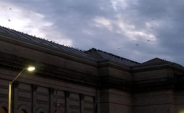 American crows gather on the roof of Carnegie Museum, Nov 2017 (photo by Kate St. John)