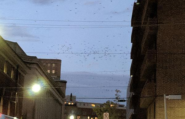 Crows fly at dusk, Fifth Avenue in Oakland neighborhood of Pittsburgh, Nov 2017 (photo by Kate St.John)