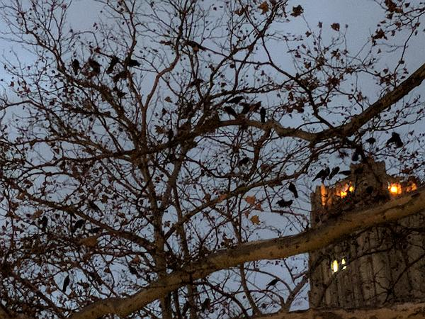 Crows gathering to roost in a tree near the Cathedral of Learning, Pittsburgh, Nov 2017 (photo by Kate St.John)