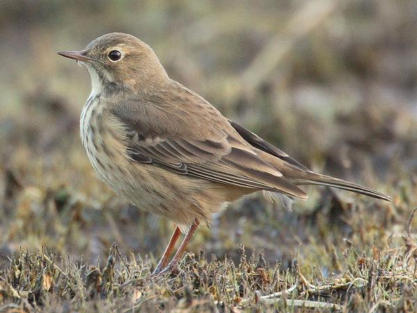 American pipit, Algonquin Provincial Park, Canada (photo from Wikimedia Commons)