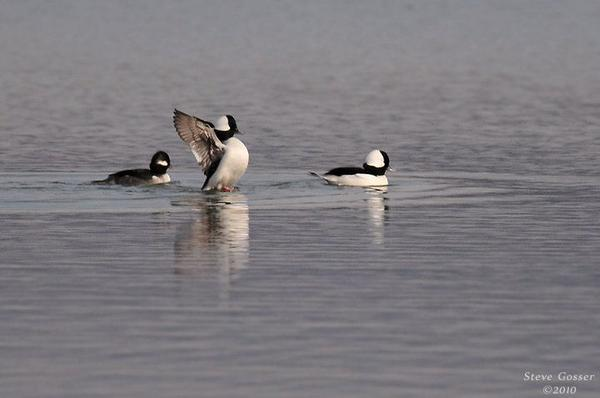Bufflehead female with two males (photo by Steve Gosser)