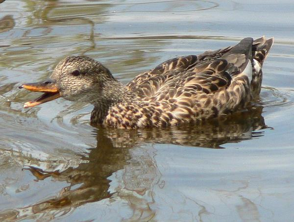Female gadwall (photo by Walter Siegmund via Wikimedia Commons)