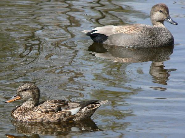 Gadwall female and male (photo by Walter Siegmund via Wikimedia Commons)