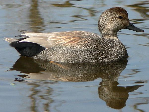 Male gadwall (photo by Walter Siegmund via Wikimedia Commons)