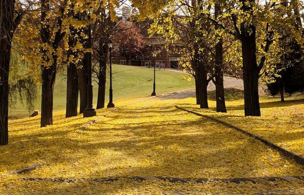Ginkgo trees make a bright yellow carpet of leaves, 11 Nov 2017, 10:30am (photo by Kate St. John)