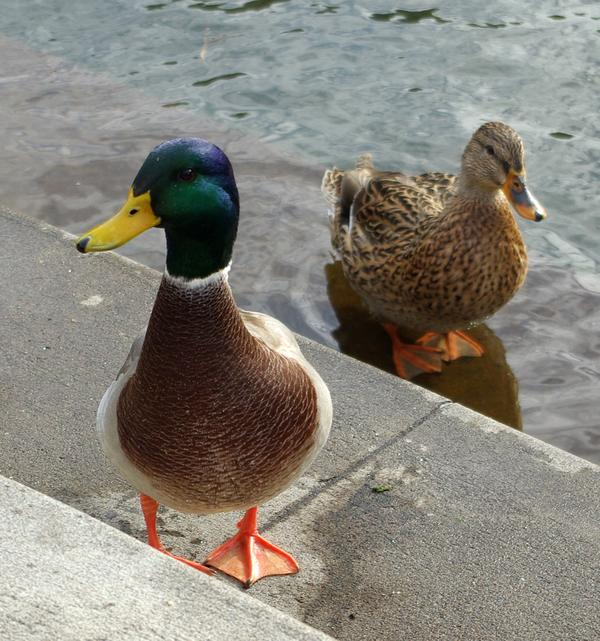 Mallard pair in Oregon (photo from Wikimedia Commons)