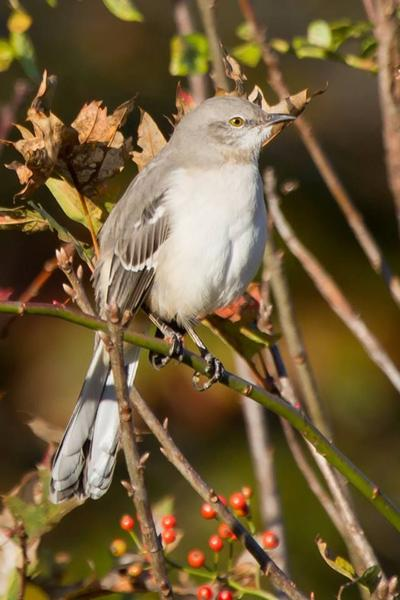 Northern mockingbird (photo by Don Weiss)