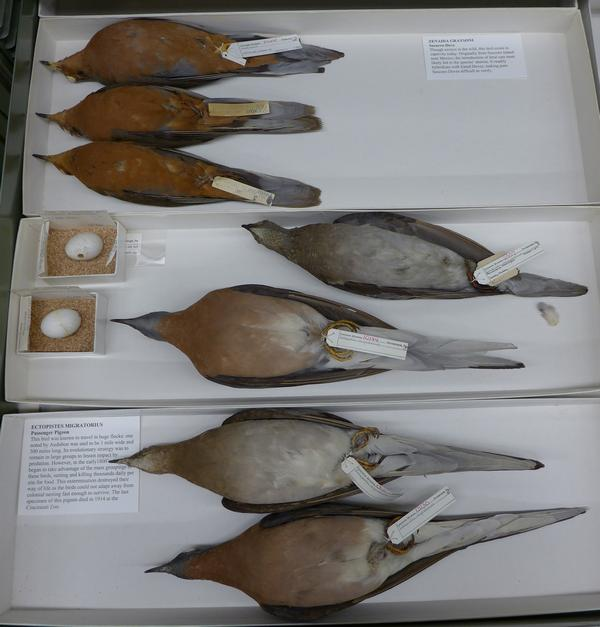 Passenger pigeon specimens at Carnegie Museum of Natural History, 2016 (photo by Kate St. John)