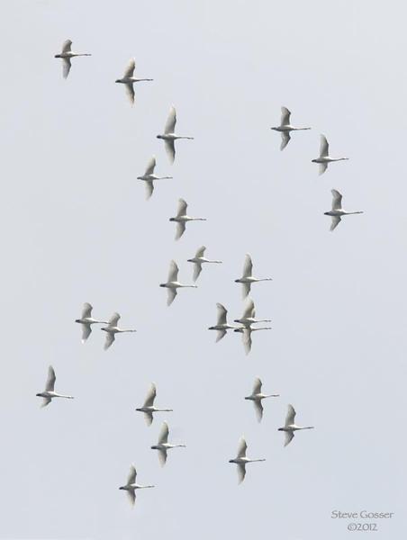 Tundra swans in flight (photo by Steve Gosser)