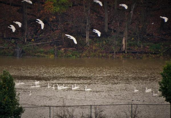 Tundra swans landing at Crooked Creek, 7 Nov 2017 (photo by Marge Van Tassel)