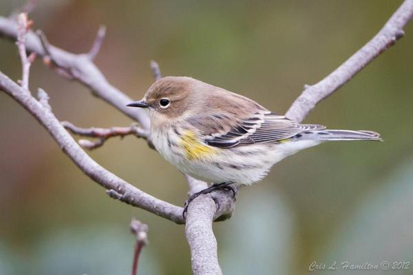 Yellow-rumped warbler in autumn (photo by Cris Hamilton)