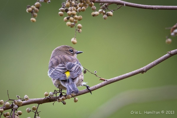 Yellow-rumped warbler showing its yellow rump (photo by Cris Hamilton)