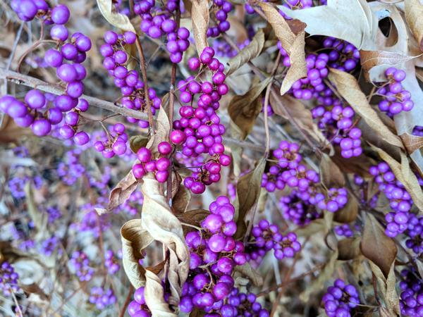 Beautyberries in a garden, November 2017 (photo by Kate St. John)