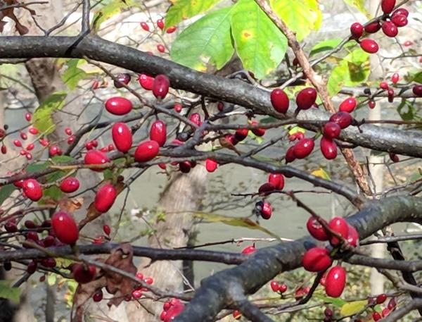 Profusion of spicebush berries, Laurel Highlands, Oct 2017 (photo by Kate St.John)