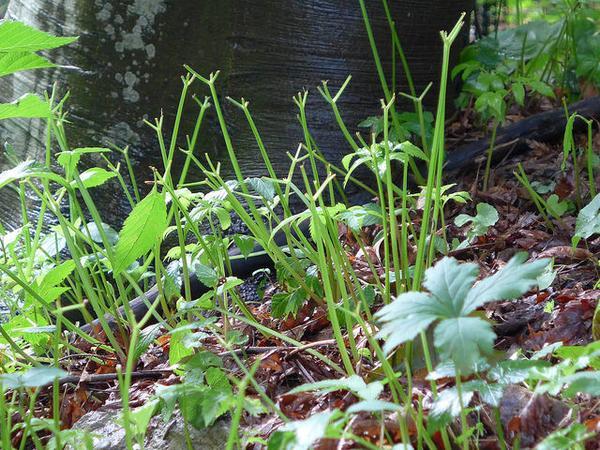 Jewelweed eaten by deer in July, Schenley Park (photo by Kate St.John)