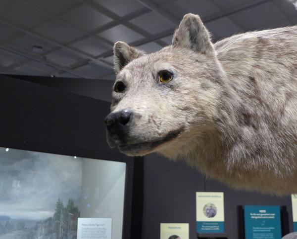 Human tinkering with the wolf population trickles down to the entire ecosystem, Carnegie Museum of Natural History, Nov 2017 (photo by Kate St.John)