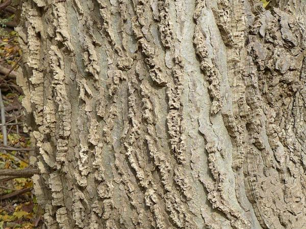 Bark on the common hackberry tree (photo by Kate St.John)