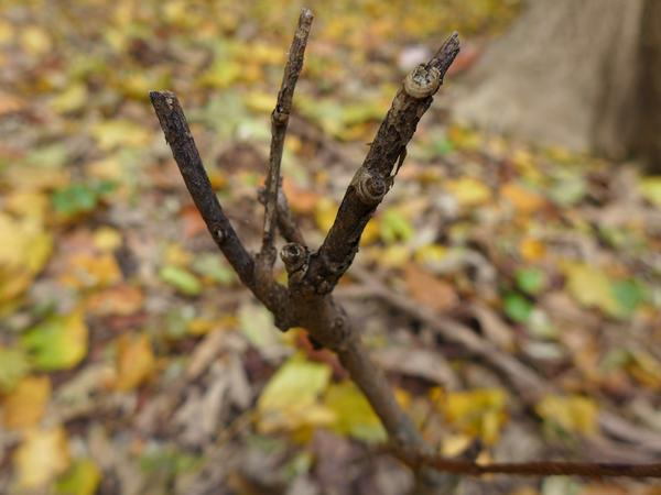 Deer damage on hackberry twigs, Schenley park, Nov 2017 (photo by Kate St. John)